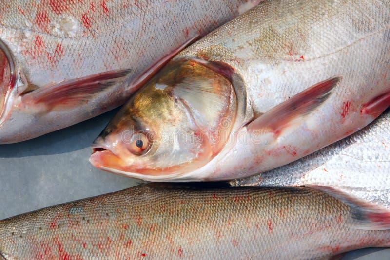 Download Carpa de prata foto de stock. Imagem de comer, animais - 29839094