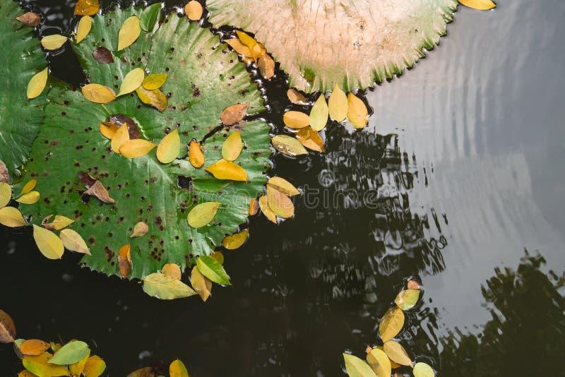 O fim acima da folha grande dos lótus com queda amarela sae na água imóvel r imagens de stock