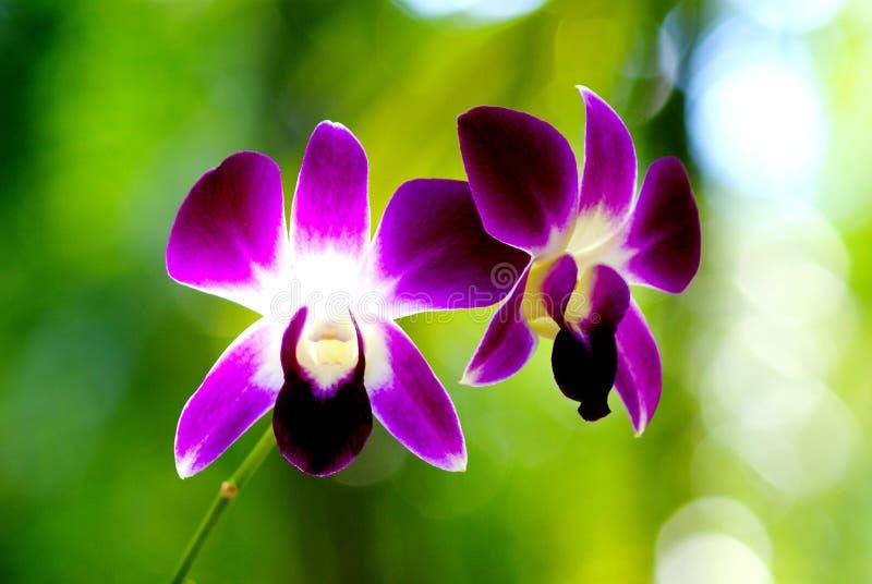 O fim acima da orquídea roxa está florescendo no dia, fecha-se acima do fundo natural do foco macio abstrato imagens de stock royalty free