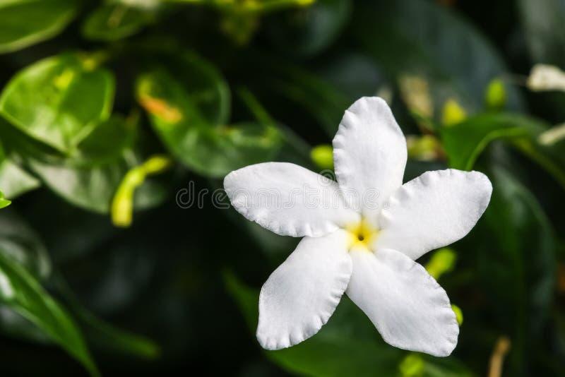 O fim acima da vista superior das flores brancas de Ervatamia ou de gardênia é flor no jardim, ele tem o lóbulo 5 imagem de stock royalty free