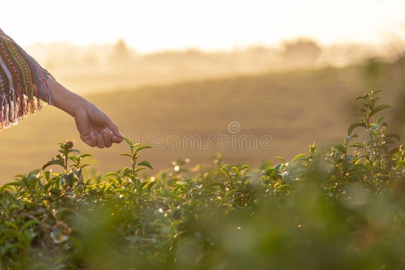 O fim acima das mulheres do fazendeiro do trabalhador da mão escolhia as folhas de chá para tradições na manhã do nascer do sol n fotos de stock