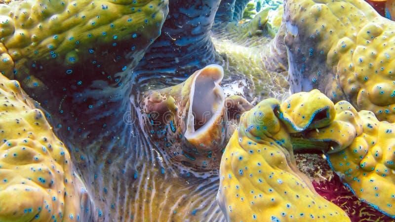 O fim acima de gigas coloridos do Tridacna dos moluscos gigantes cresce no raso Raja Ampat, Indonésia foto de stock royalty free