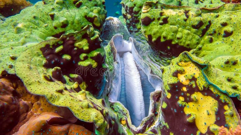 O fim acima de gigas coloridos do Tridacna dos moluscos gigantes cresce no raso Raja Ampat, Indonésia fotos de stock