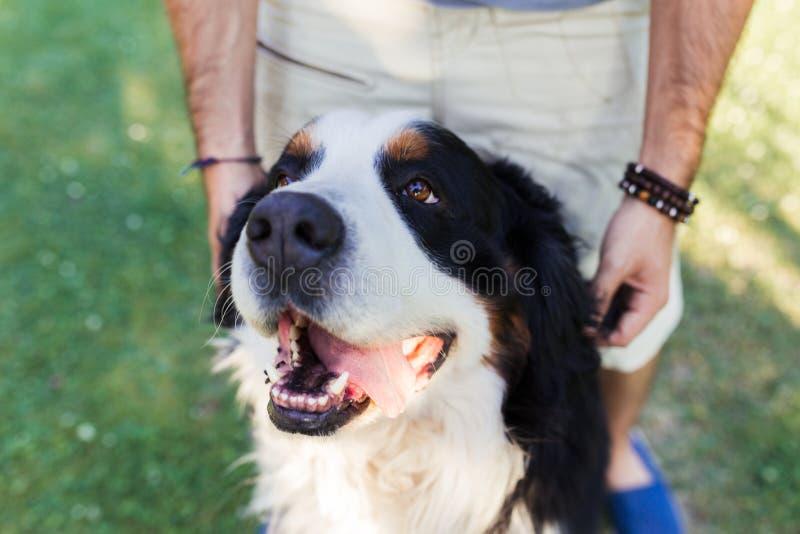 O fim acima de um cão grande com é tonge para fora e um homem atrás imagem de stock royalty free