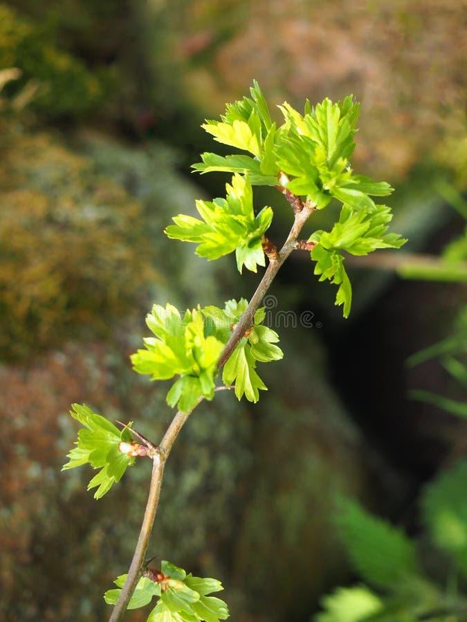 O fim acima de um galho do espinho comum com brotamento da mola verde-clara deixa rebentar para fora dos ramos fotos de stock royalty free