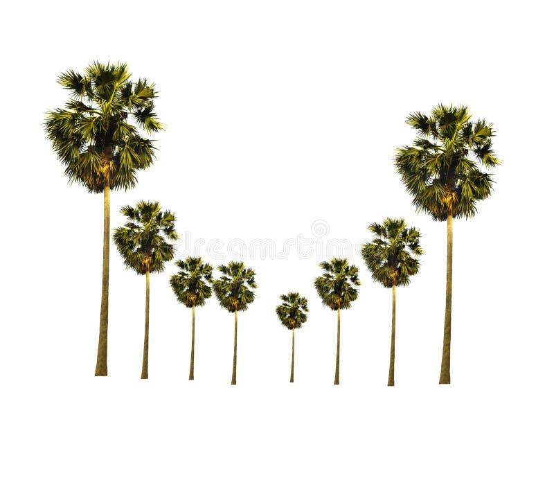 O fim acima do jardim da palmeira do açúcar isolado no fundo branco olha fresco e bonito imagem de stock