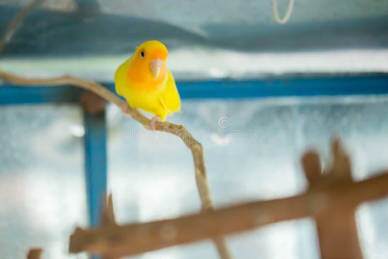 O fim amarelo do papagaio do periquito australiano senta-se acima no ramo de árvore na gaiola foto de stock royalty free