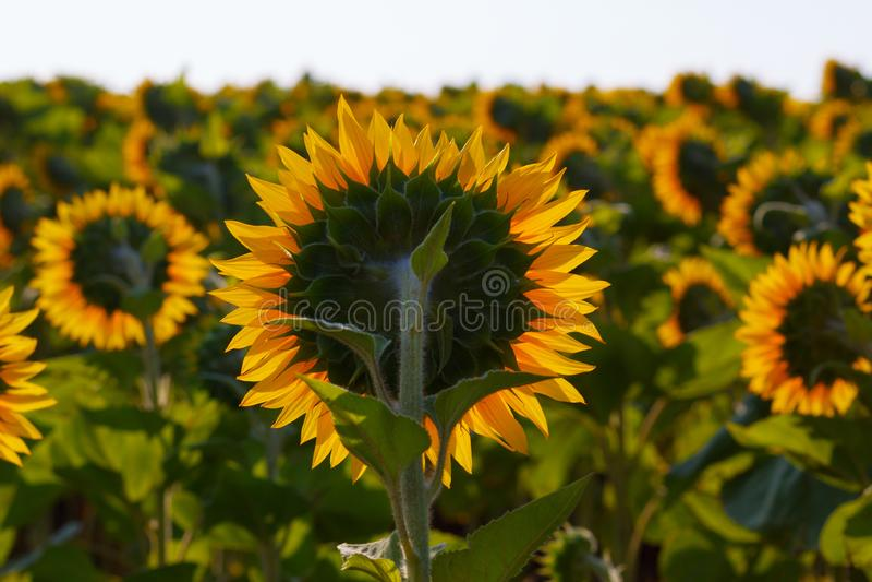 O fim de florescência do girassol acima contra o sol fotografia de stock royalty free