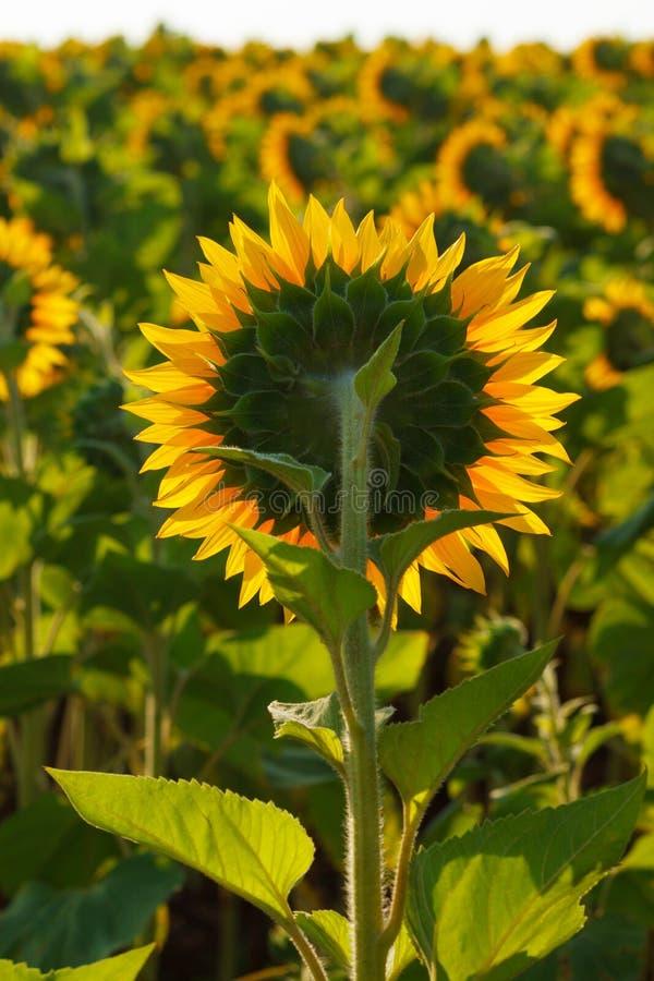 O fim de florescência do girassol acima contra o sol fotografia de stock