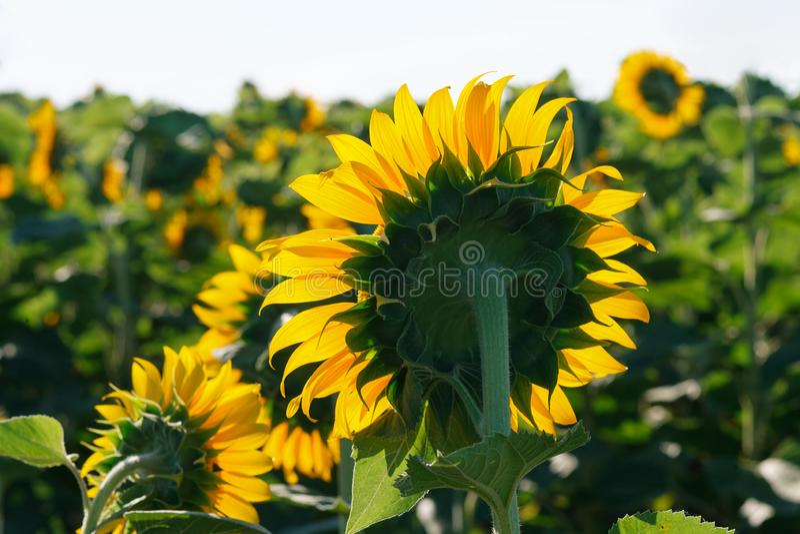 O fim de florescência do girassol acima contra o sol imagem de stock