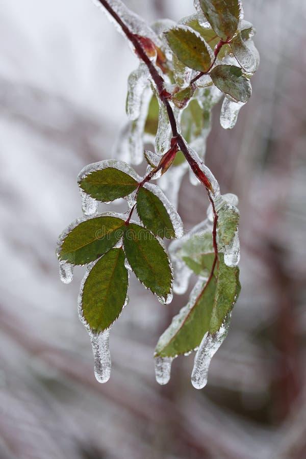 O fim disparou acima de um ramo de árvore com as folhas verdes cobertas com o gelo após a tempestade da chuva de congelação imagem de stock