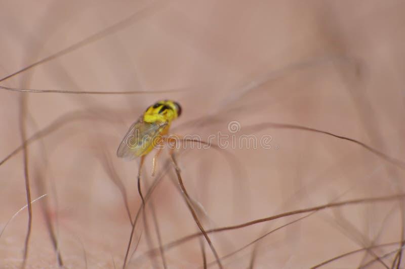 O fim macro acima de tiro detalhado de moscas ou da grama amarela minúscula de frita de Thaumatomyia da mosca voa a pertença à fa imagem de stock royalty free