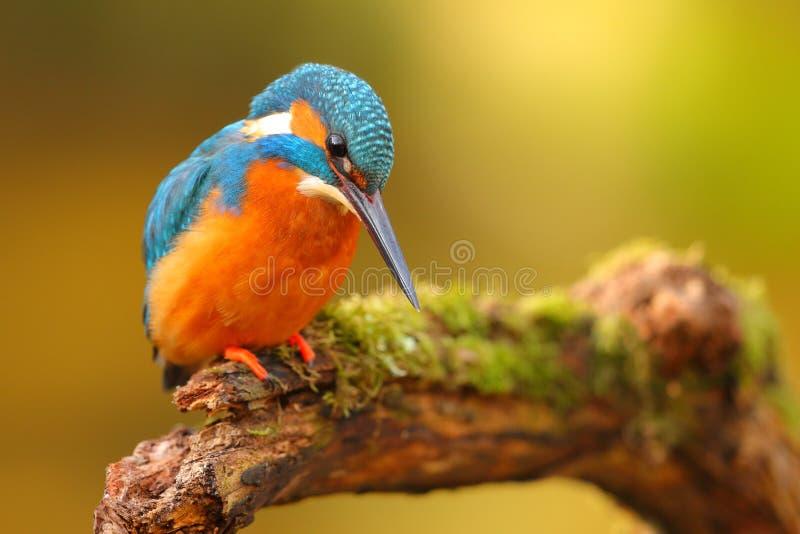 O fisher do rei empoleirou-se em um ramo com fundo colorido fotos de stock