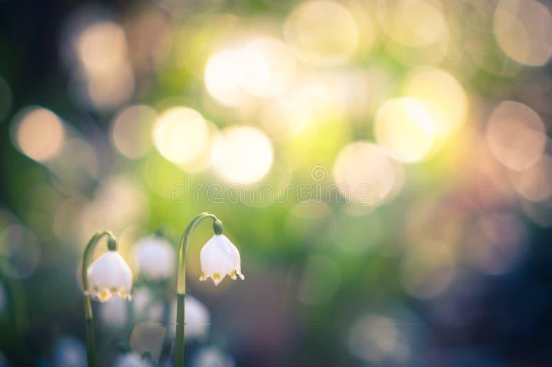 O floco de neve da mola floresce a flor, florescendo no ambiente natural da floresta, madeiras Fundo da mola com bokeh forte fotografia de stock