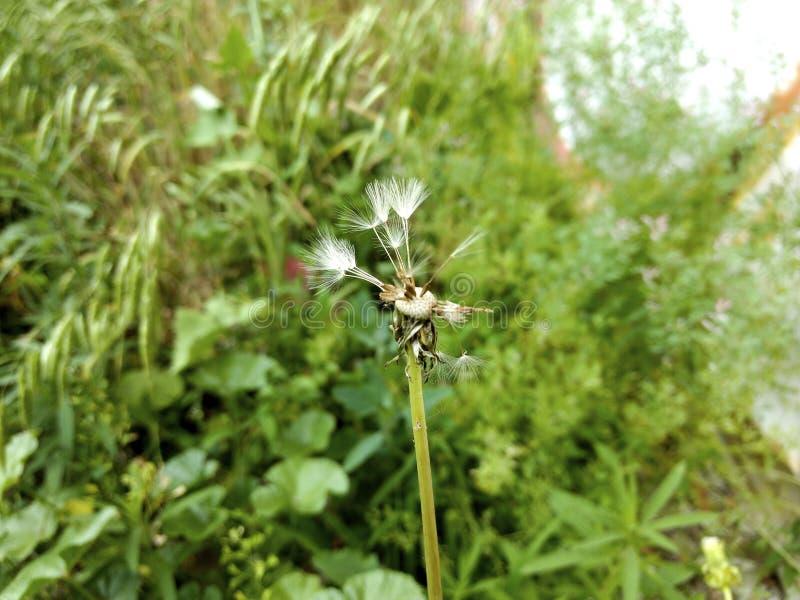 O fluff do dente-de-leão dispersa, uma flor selvagem foto de stock
