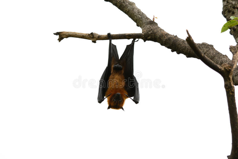 O flyingfox de Lyie fotos de stock royalty free