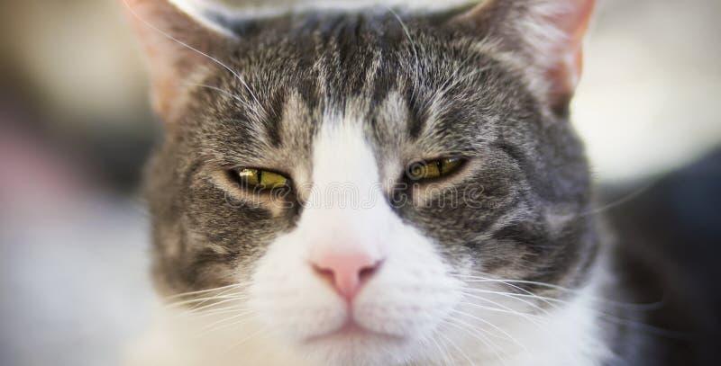 O focinho de um gato com olhos amarelos, que foi vesgo fotografia de stock
