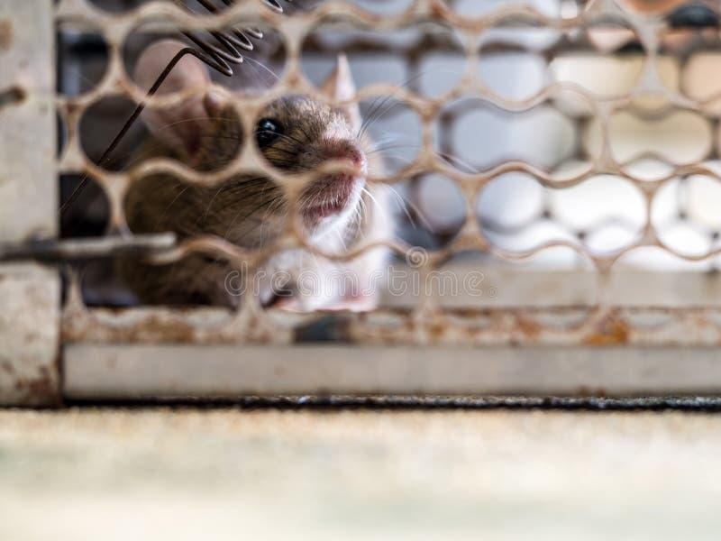 O foco macio do rato estava em uma gaiola que trava um rato o rato tem o contágio a doença aos seres humanos As casas e as moradi imagens de stock