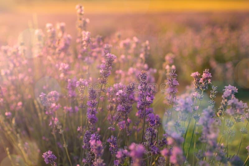 O foco macio e obscuro da alfazema floresce sob a luz do nascer do sol Fundo natural do close up do campo em Provence, França foto de stock royalty free