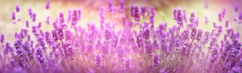 O foco seletivo na flor da alfazema, flores da alfazema iluminou-se pela luz solar fotos de stock royalty free