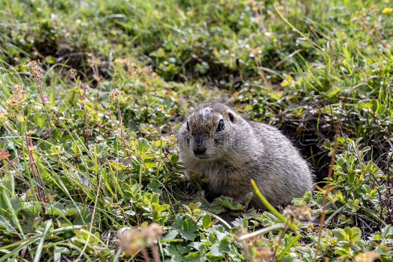 O fofinho fofinho escalou para fora do buraco e se senta em um prado verde no dia ensolarado fotografia de stock