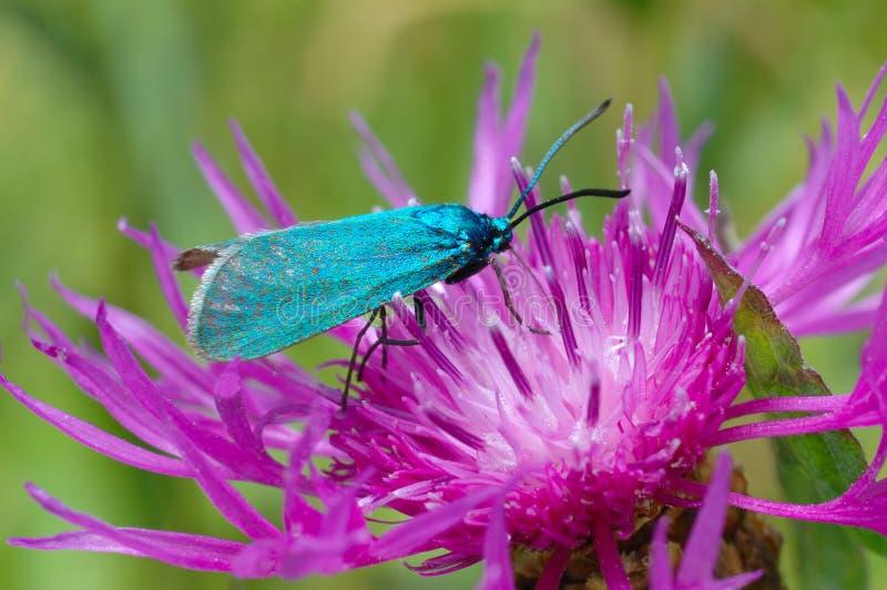 O Forester, statices de Adscita da borboleta imagem de stock