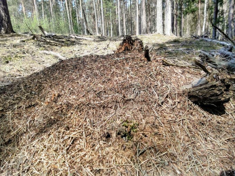 O formigueiro na floresta verde foto de stock
