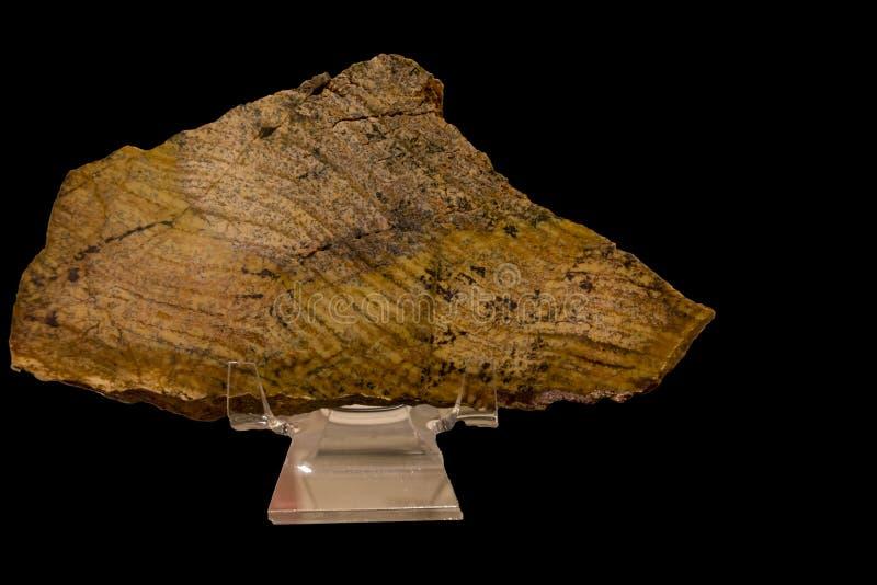 O fossill o mais velho de Stromatolite no mundo foto de stock royalty free
