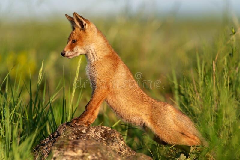 O Fox vermelho novo está em uma rocha e olha afastado fotografia de stock royalty free