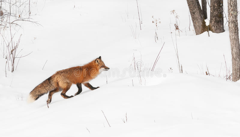 O Fox vermelho (vulpes do Vulpes) funciona certo imagem de stock royalty free