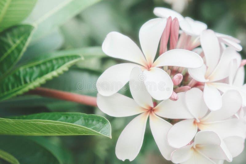 O frangipani branco floresce flores dos termas da margarida no jardim da natureza imagens de stock