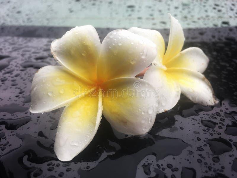 O frangipani tropical das flores esteja molhado com gota da chuva na tabela preta brilhante imagens de stock royalty free