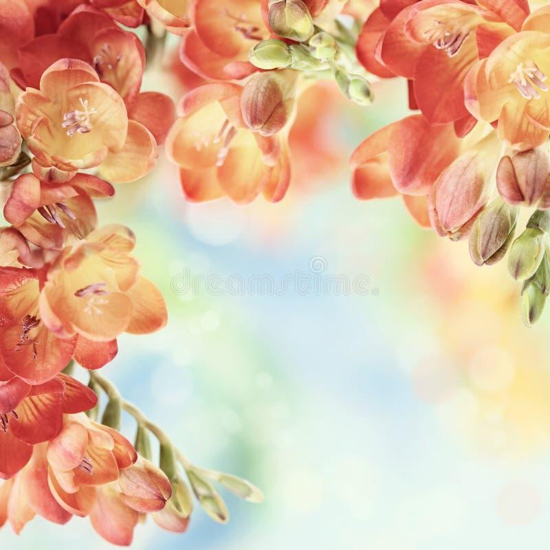 Flores do freesia da mola no fundo do bokeh foto de stock royalty free