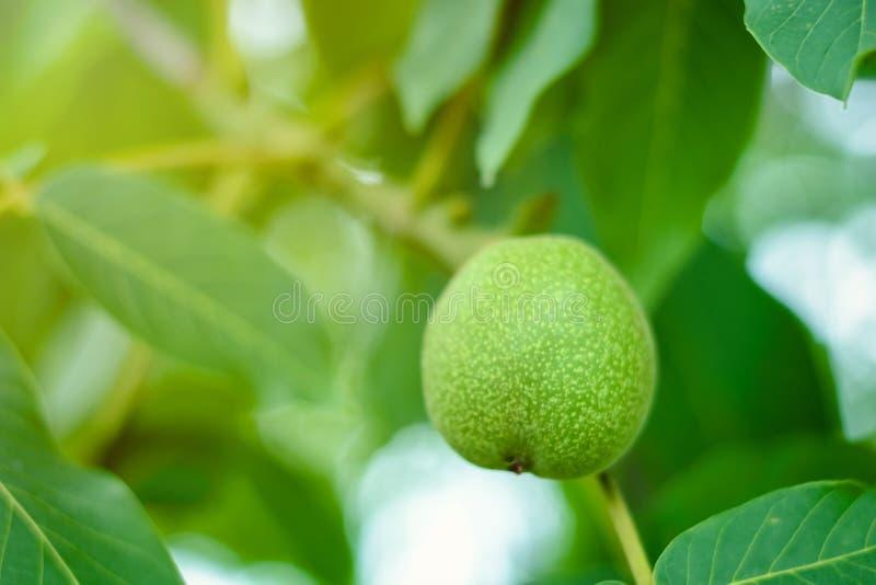 O fruto da noz e do verde sae no ramo de árvore foto de stock
