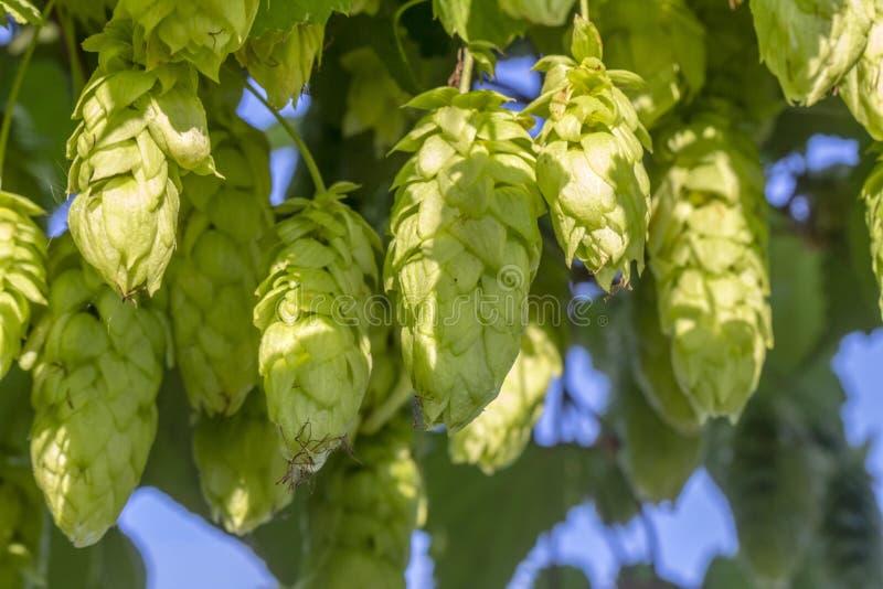 O fruto do lúpulo, um produto natural, um ingrediente de cerveja imagens de stock royalty free