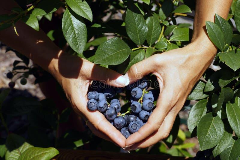 O fruto do mirtilo nas mãos fêmeas arranjou na forma de um coração foto de stock