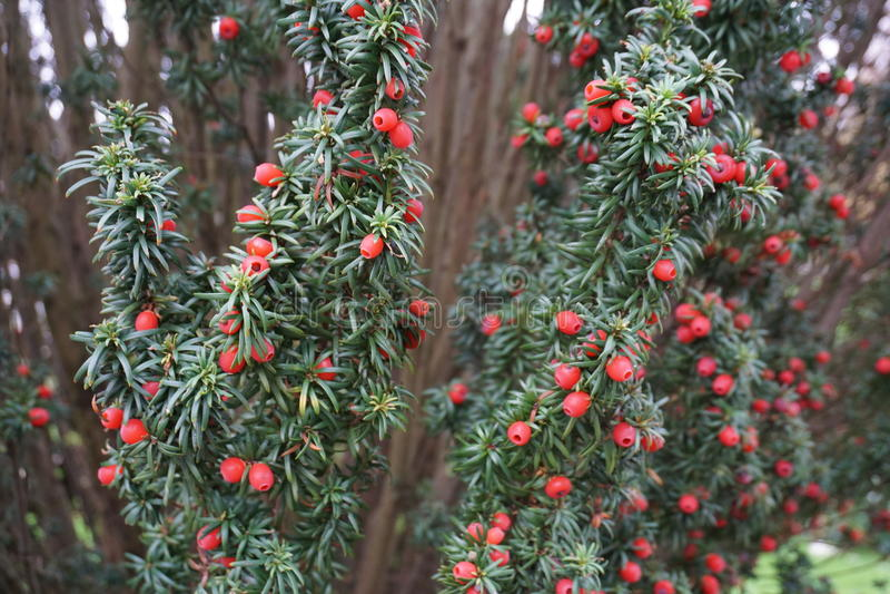 O fruto do teixo fotografia de stock royalty free