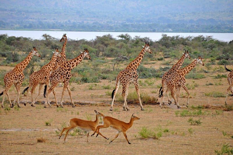 O funcionamento dos Giraffes com os Gazelles em Murchison cai Ugan imagens de stock