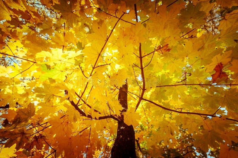 O fundo abstrato da natureza do outono com árvore de bordo sae fotografia de stock