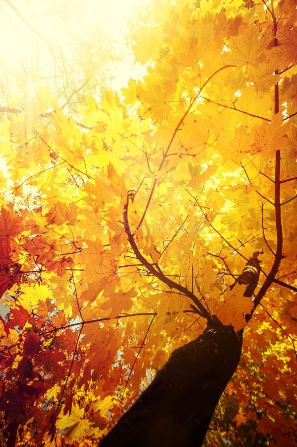 O fundo abstrato da natureza do outono com árvore de bordo sae foto de stock royalty free
