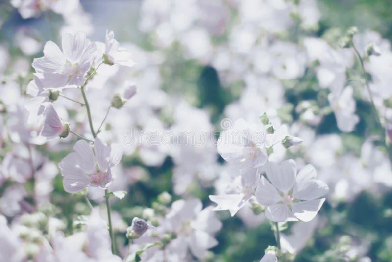 O fundo borrado floral, salta as flores brancas fotografia de stock