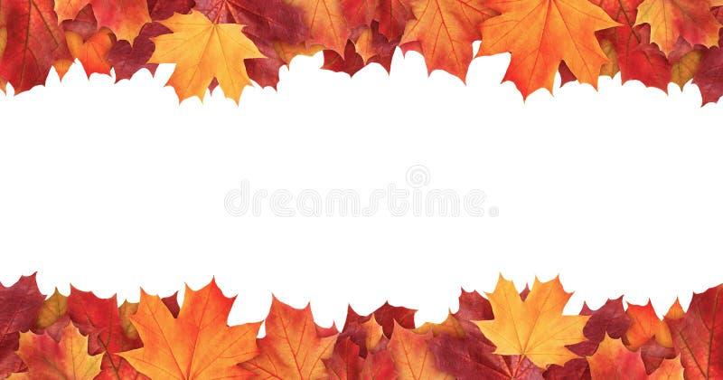 O fundo colorido de surpresa da árvore de bordo do outono deixa o fundo com o espaço vazio branco imagens de stock royalty free