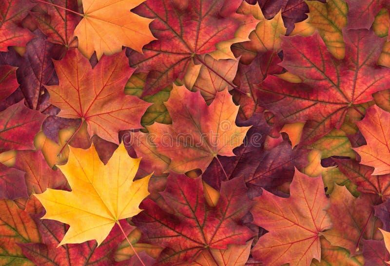 O fundo colorido de surpresa da árvore de bordo do outono sae do fundo perto acima Fundo multicolorido do outono das folhas de bo imagens de stock