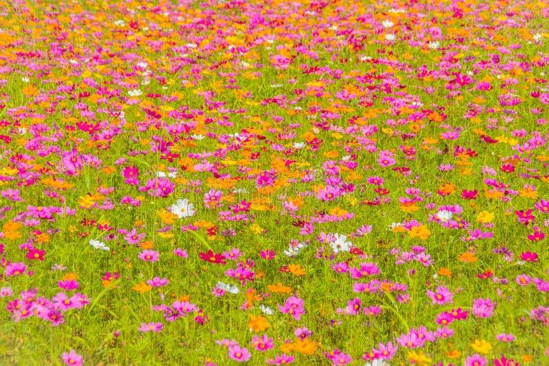 O fundo colorido do cosmos floresce no campo no dia ensolarado A estação do verão e de mola floresce a florescência belamente no  imagem de stock royalty free