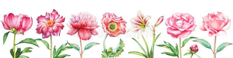 O fundo com a peônia vermelha e cor-de-rosa da aquarela, as flores aumentou, do papoila e da amarílis ilustração stock
