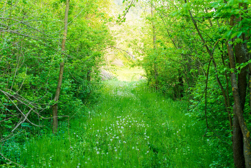 O fundo da natureza da mola, o prado verde e o dente-de-leão florescem fotografia de stock