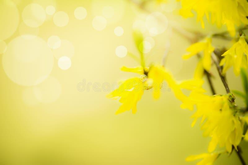 O fundo da natureza da mola com forsítia amarela floresce no fundo borrado com bokeh e luz do sol Floresc?ncia da primavera outdo imagens de stock royalty free