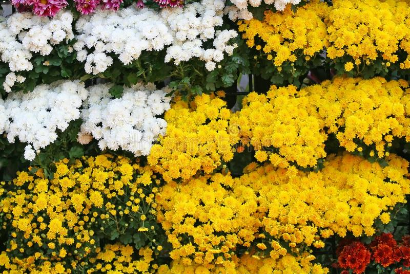 O fundo de florescência das flores amarelas e brancas, crisântemos floresce em Chiang Mai Flower Festival, guardado em fevereiro  fotos de stock royalty free