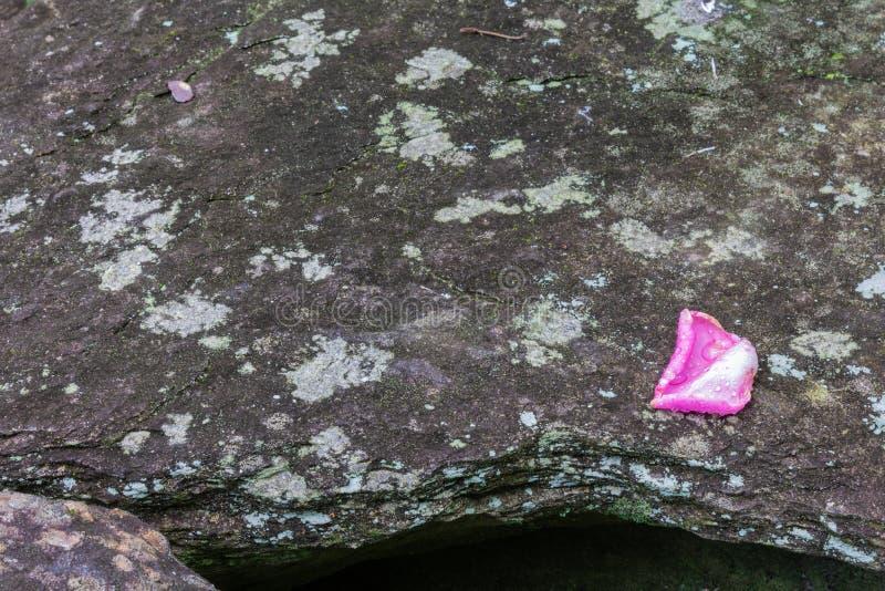 O fundo de pedra com a única pétala cor-de-rosa cor-de-rosa, molhou da chuva imagem de stock