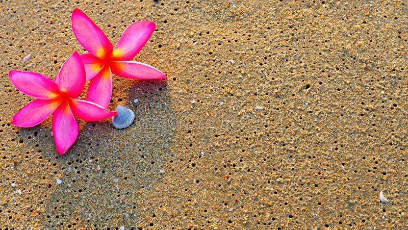 O fundo do Plumeria cor-de-rosa floresce na areia da praia imagem de stock